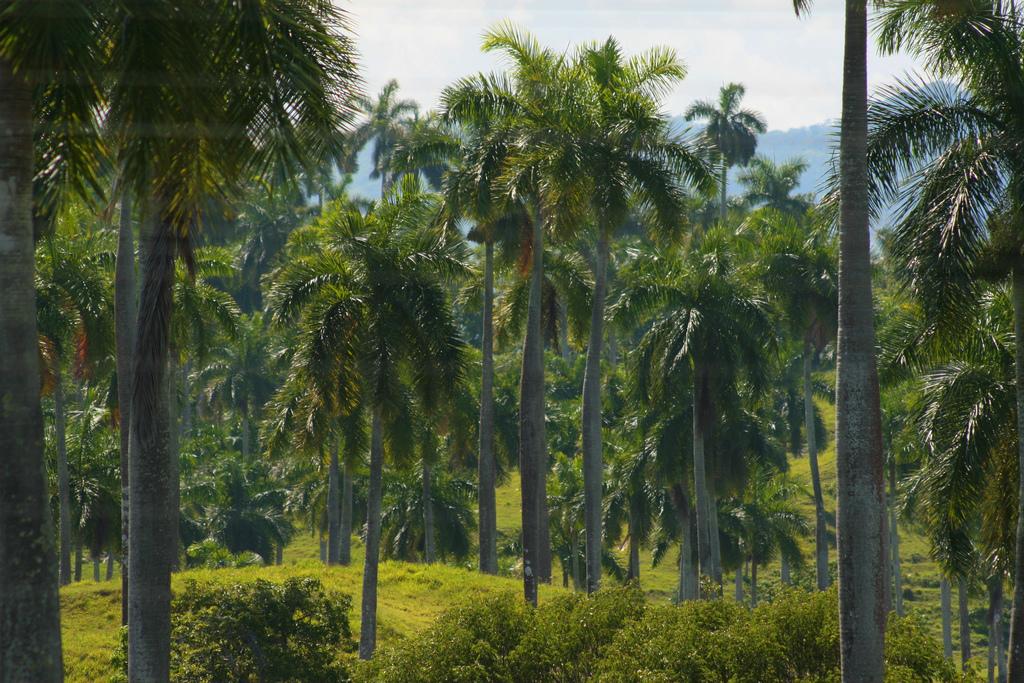 Palmy Królewskie - Kuba